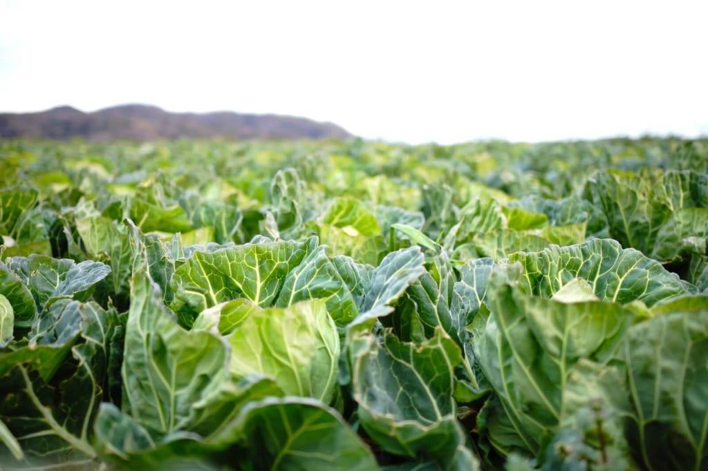 畑に生えている大量のキャベツ
