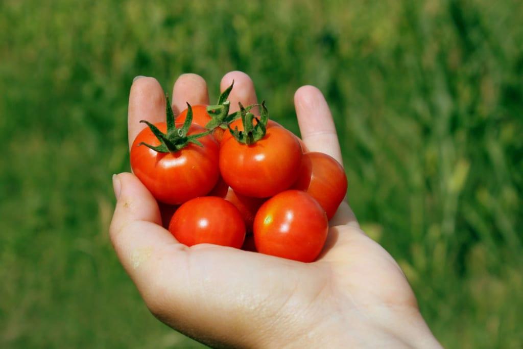 手のひらに載ったミニトマト