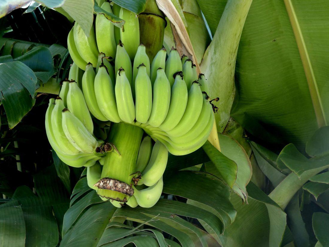 木になったバナナ
